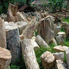 Sensationeel: 20 miljoen jaar oud hout van de tropische soort Dipterocarpus.